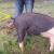 Niesamowicie przydatne – jak wyprostować świński ogonek